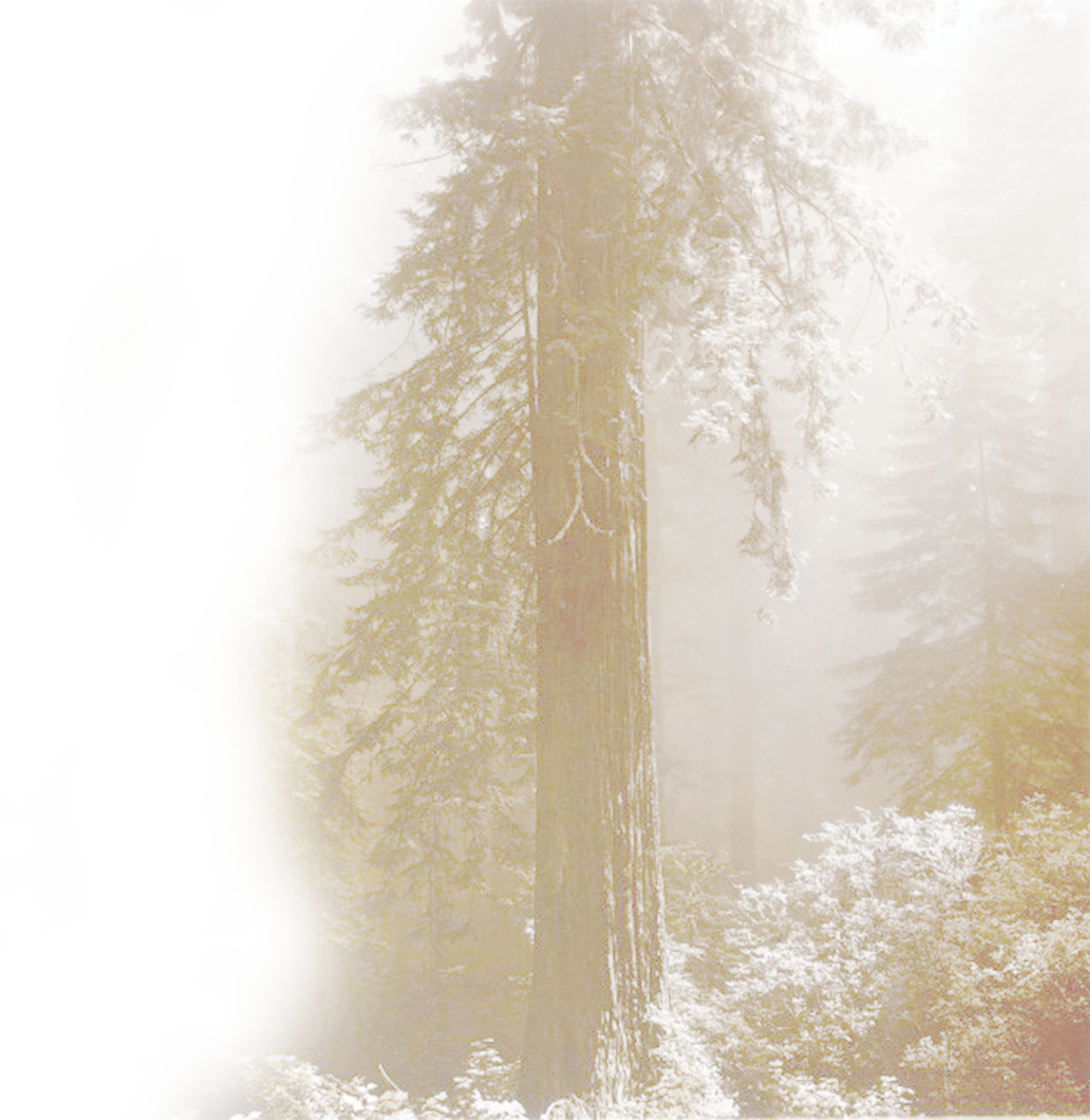 redwood tree for background